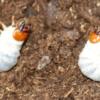 天然幼虫採集 ノコギリクワガタ!雌雄判別! マット交換