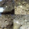 ニジイロクワガタ産卵18個!次は菌糸ビン産卵セットへ!