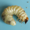 さいたま市 オオクワ採集木からの幼虫 最後の1頭菌糸ビン交換!