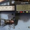 相模川産コクワガタは39mmで羽化!もう1頭は死亡。。。