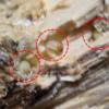 能勢YGオオクワもう1セットも期待大!ちょっと削ったら3卵1幼虫!